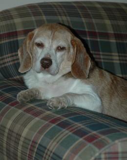 My old Beagle, Penny!