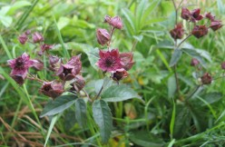 Three Wild Flowers of the Potentilla Family