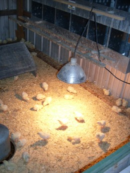 Baby chicks must be kept between 90 and 95 degrees F., and so require a heat lamp or a brooder at first.