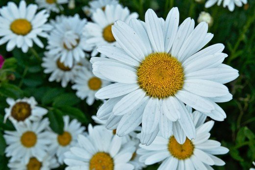 One of April's birth-flowers is the daisy.
