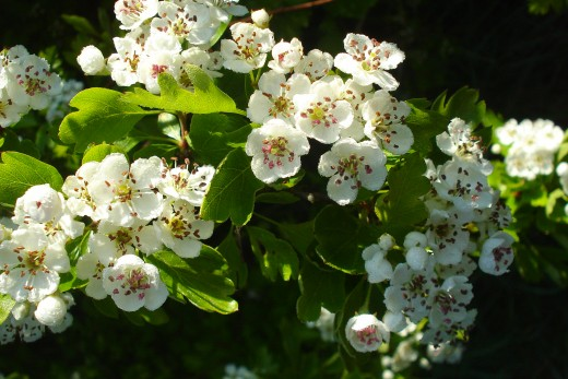 One of May's birth-flowers is the hawthorn.