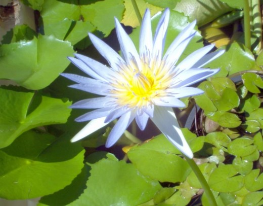 One of July's birth-flowers is the waterlily.