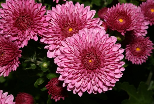 One of November's birth-flowers is the chrysanthemum.