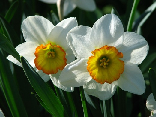 One of December's birth-flowers is the Narcissus.