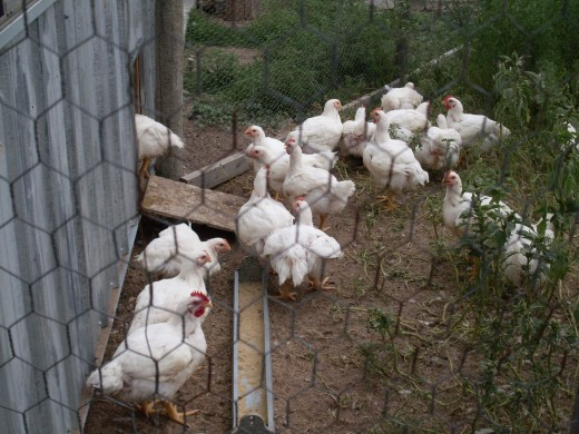 Photo Essay of the Life of a Chicken: From Newly Hatched to Adult