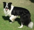 Thinking of Bringing Home a Border Collie Pup?