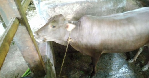 Cattle in the rural cow-shed