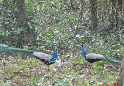 The national bird of India. Two of them showing off skills to impress a peahen. (The peahen is not in the frame.)