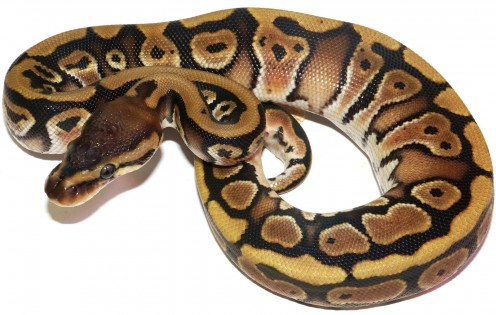 Ball Python Care Guide