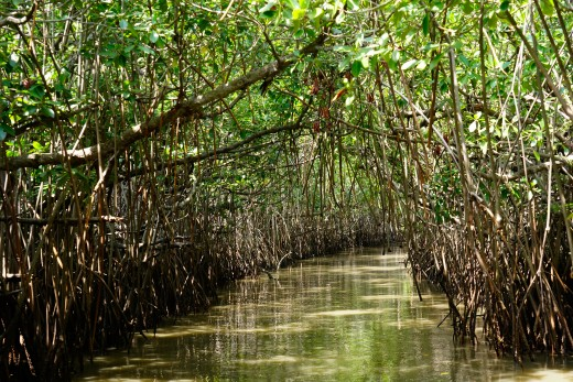 The narrow waterways in mangrove forest