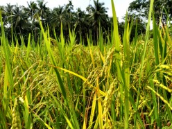 Growing Paddy for Self Sustainable Organic Harvests
