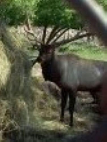 Bull Elk, Aspen Park, Gaylord, MI