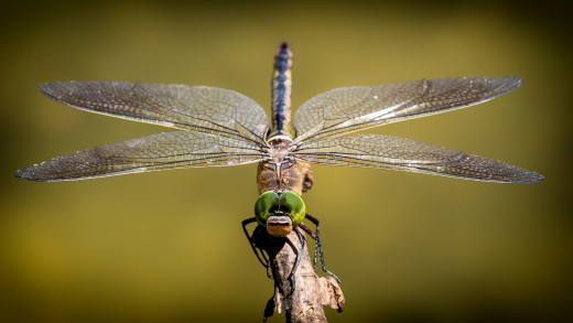 Dragonfly, Image by liggraphy from Pixabay