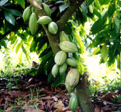 Cocoa Beans to Chocolate Process for This Christmas