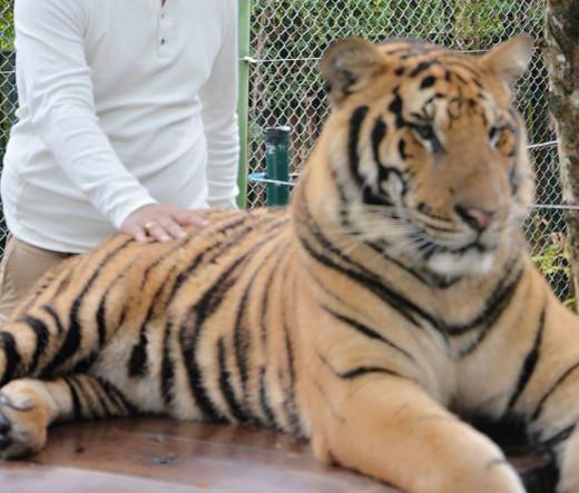The Tiger Kingdom,Phuket