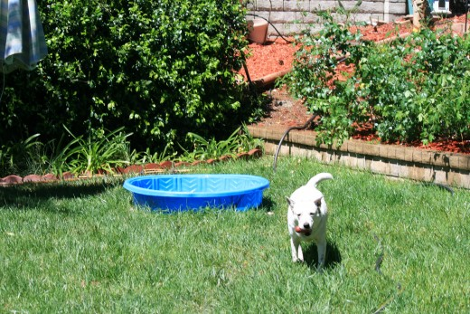 Cleo retrieving a dog toy from her pool.