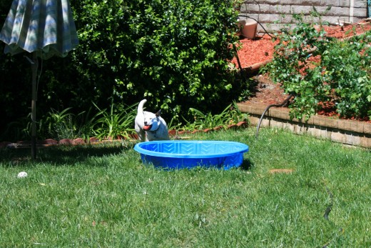Sometimes the dogs seem to jump into the pool just to jump in, this time the ball landed on the outside of the pool!