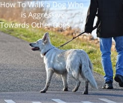 How to Walk a Dog Who Is Aggressive Towards Other Dogs