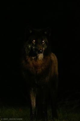 A Black Dandy Devil Dog...