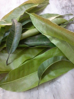 Experiencing Healing With Mango Leaves