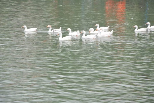 Swans floating on the lake