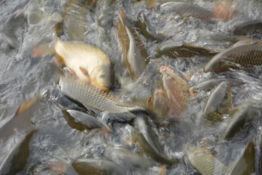 Fish Feeding In Naina Lake