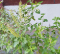 Holy Basil (Tulsi) Plant - the Queen of Herbs With Prophylactic Medicinal Properties