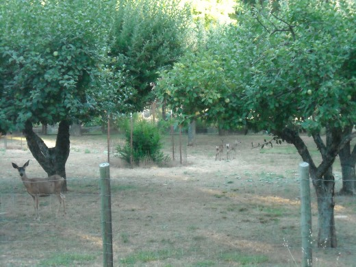 This is not a very good photo of deer in an orchard.