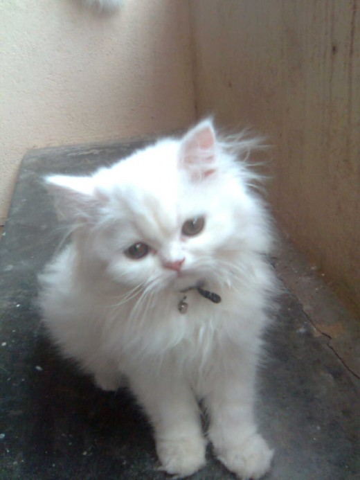 Kittens For Sale in Bangalore Karnataka India