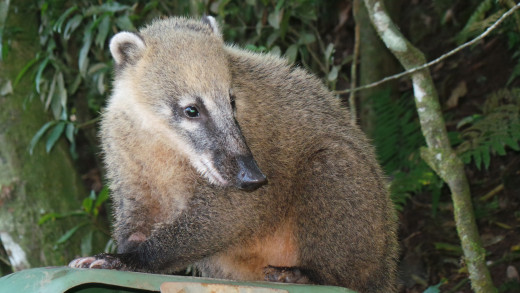 Quatis are like the raccoons of Brazil. You are guaranteed to see at least a few during your visit to Iguassu National Park. Don't worry, they're friendly! But they may steal your snacks...