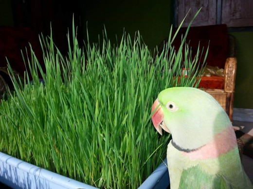 A Tray Of Wheatgrass