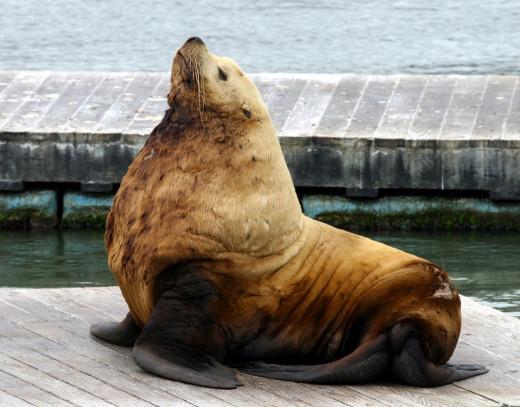 Steller Sea LionScientific Name Eumetopias jubatus