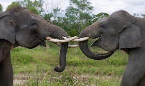 Samontra Elephaant Scientific Name elaphas maximus sumaatrensis