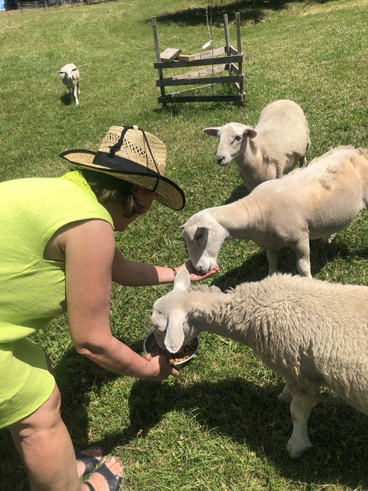 Feeding lambs on a friend's property...heaven!