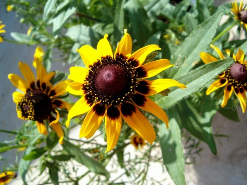 Black eyed susan flower, frown from seed.