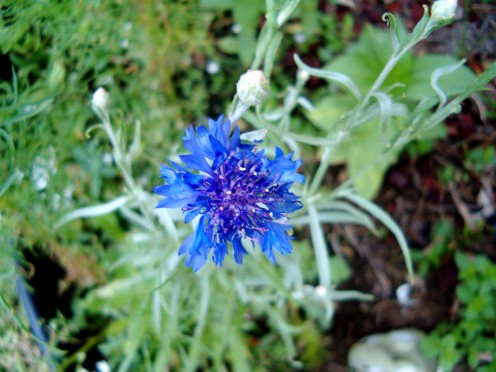 Bachelor's Button, Blue Cornflower.  I think they are such a pretty color!