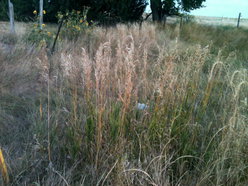 These grasses may be used at this tough stage in a tall vase in a corner. They seem to soften the howls of the wind, speaking of the summers when they reveled in each secret sunrise.