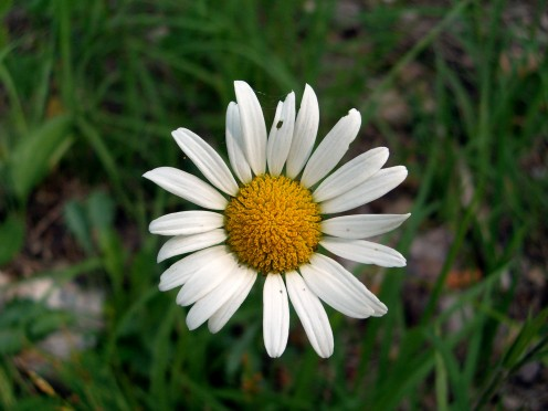 Ox-eye Daisy Flower