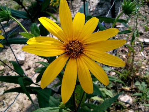 Oxeye, Sunflower Heliopsis, False sunflower