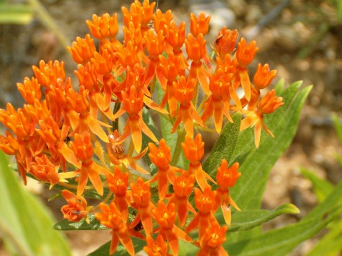 Butterfly Weed, Milkweed Family.  It is also known as blood flower.
