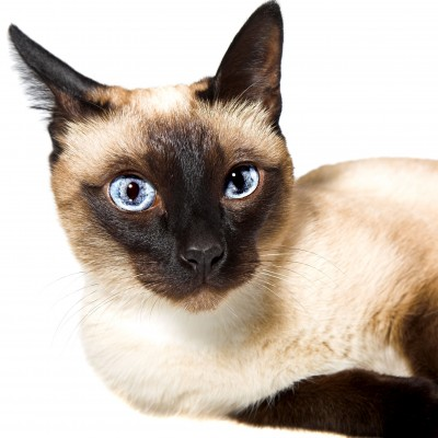 Siamese Cats are known to meow...a lot!