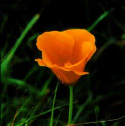 California Poppies - the Perfect Representation of California