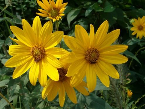 Sawtooth Sunflower, daisy family
