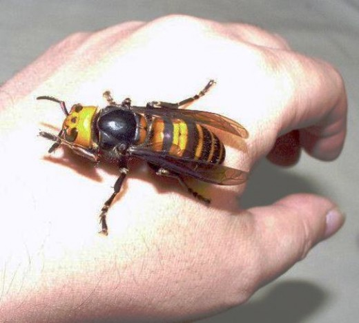 A wasp or yellow jacket sting at a picnic could send you to the hospital. Above is a giant yellow Asian hornet