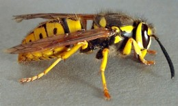 The Yellow Jacket is a member of the wasp and hornet family.