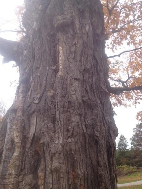 500  yr old tree