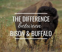 Bison vs Buffalo - What's the Difference?