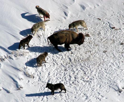 Wolf Pack Hunts Together