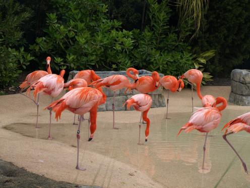 South Florida flamingos are a national treasure at Hialeah.