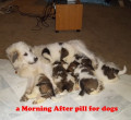 Is There a Morning After Pill Available for Dogs to Stop Pregnancy?